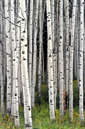 I liked the patterns that all the light and dark aspen trunks made late on an autumn afternoon. These were photographed in the Gunnison National Forest near Gunnison, CO