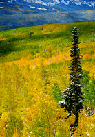 A lone pine tree towers over a carpet of snow and colorful aspen near Crested Butte, CO