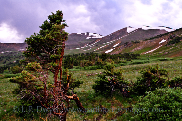 The difficult conditions near timberline are reflected in this tree. The snow lingers in mid-July here near 11,000'.