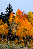 A stormy day created a nicely saturated photo of these aspen.