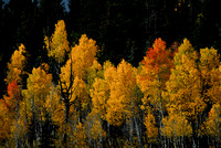 We caught a small break in the clouds during a stormy day that illuminated these aspen while keeping the background of pines very dark. The effect really makes the aspen stand out.