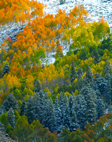 A wide variety of color in this cluster of aspen and pine after an early fall snowstorm near Gunnison, CO