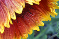 A drooping blanket flower on a rainy morning