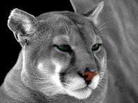 Intense Stare- This mountain lion was watching my friend's movement, which allowed me to get off this quick head shot.